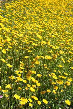 A meadow of corn marigold wildflowers