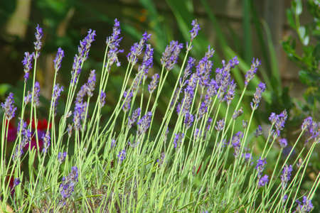 close up of lavender plant stems in a garden