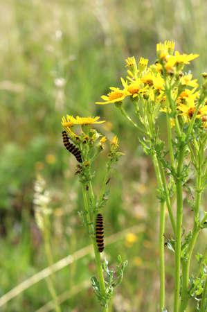 yellow and black stripy cinnabar caterpillars on ragwort