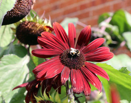 a bumble bee on a large red daisy flower