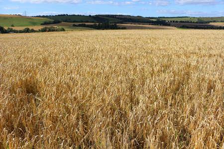 wheat field in the summer Фото со стока
