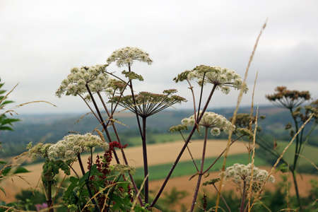 Close up of Cow Parsley