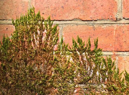 Green moss growing up a brick wall