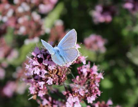 A male Common Blue butterfly, Polyommatus icarus Фото со стока