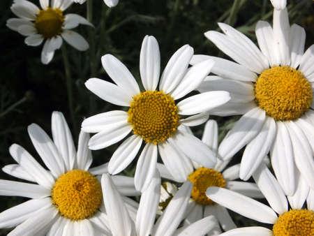 Leucanthemum × superbum or Shasta Daisy