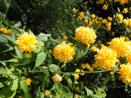 Yellow pom-pom flowers Japanese kerria or Japanese marigold bush Standard-Bild