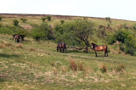 Exmoor ponies grazing in the field