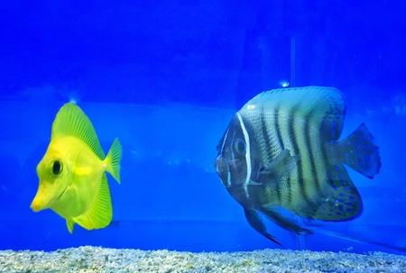 exotic fishes: Pair of exotic fishes swimming