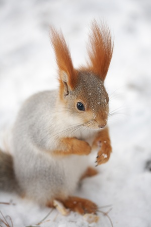 gray-red squirrel sitting in the snow and looking at the camera photo