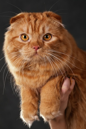alarming: red cat breed Scottish Fold on a dark background