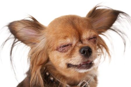 toy terrier: toy terrier toy terrier socchiude gli occhi e sorride Studio close-up