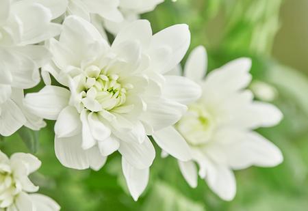 White chrysanthemum flower is on a background of green leaves stock photo white chrysanthemum flower is on a background of green leaves horizontal shot mightylinksfo