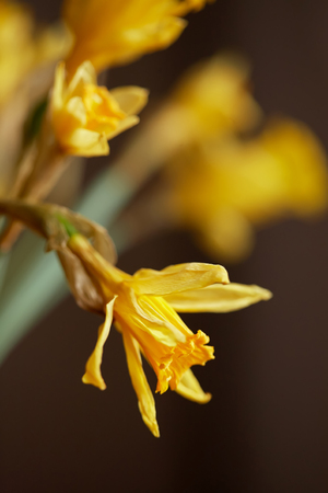 Yellow flower narcissus. The rest of the flowers are out of focus