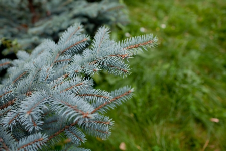 blue spruce twig Stock Photo - 10800618