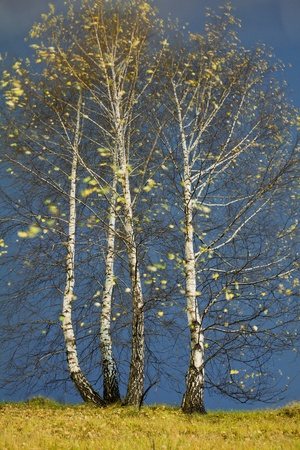 birch standing on a hillside and blown by the wind, almost no leaves photo