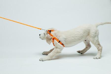 골든 리트리버 강아지는 가죽 끈에 그의 풀 저항