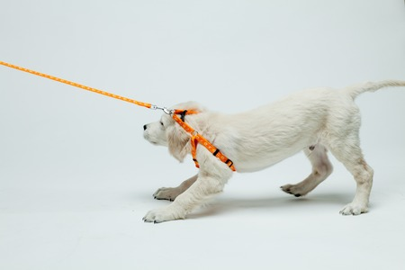 golden retriever puppy resists his pull on the leash