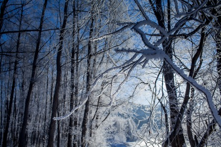 trimester: winter forest in the form of missed first trimester crown on the hills of Kamchatka