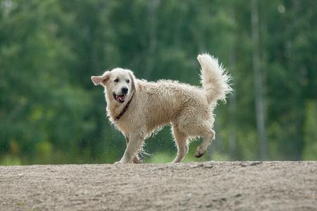 soppy: wet retriever running near the pond to swim