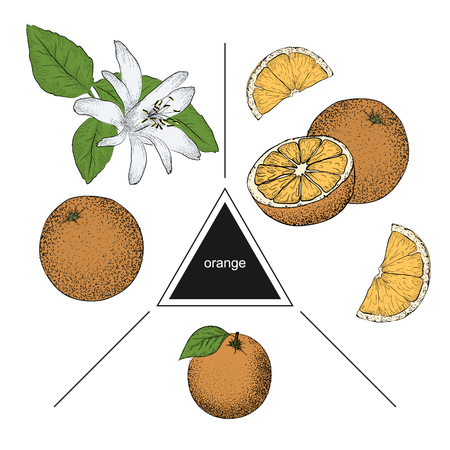 Set of fruits: whole orange, slices and orange flower. Vintage style. Hand drawn sketch on white background. Design elements for banner, cover, label, package, promote.