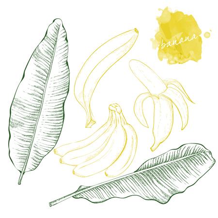 Banana leaves and bananas.  Hand drawn harvest sketch set.  Engraved drawing. Design elements for banner, cover, label, package, promote.  Illustration