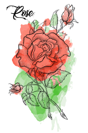 Hand drawn rose vector, etch style, roses and leaves at engraving style. Иллюстрация