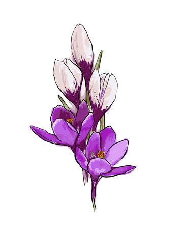 Bouquet de crocus violets et blancs sur fond blancFleurs de printemps. Illustration vectorielle dessinés à la main.