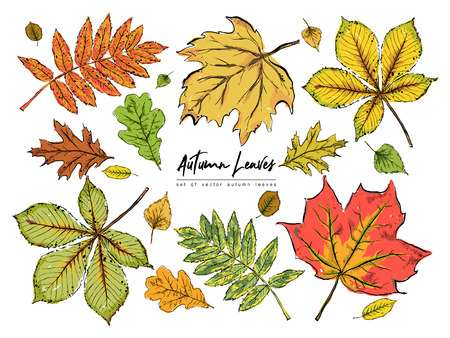 Set of various beautiful colorful autumn leaves isolated on white background. Hand drawn vector illustration. Иллюстрация