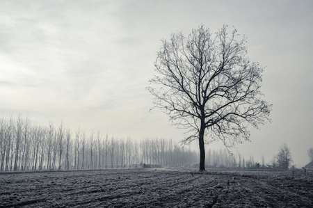 Mortara -12/30/2011: po valley poplar trees covered with frost