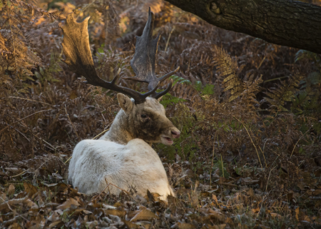 Free roaming deer at the country park - a white buck injured fromthe rut recovers away form the herd