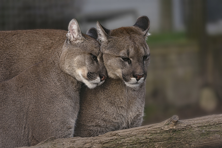 Pair of Affectionate Puma In Captivity Stock Photo