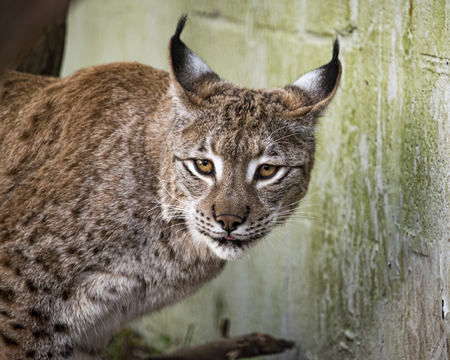 Eurasian Lynx in captivity - feeding