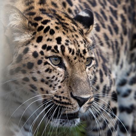 Amur leopard in captivity - close up
