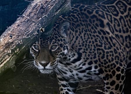 Female Jaguar in captivity