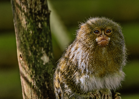 Marmoset in captivity - sitting in a tree