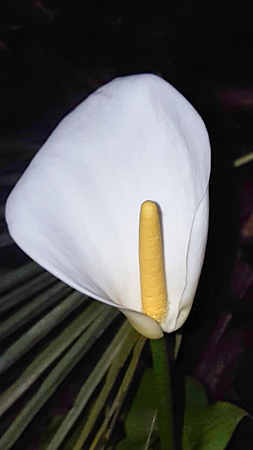 Calla Lily at night