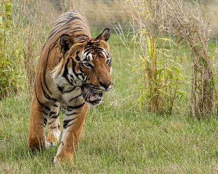 UK, Hamerton Zoo - Male Malaysian tiger in captivity