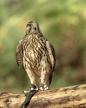 UK, Sherwood Forrest, Nottinghamshire  Birds of Prey Event - October 2018: Juvenile Gyr Peregrine in captivity. The name Gyrfalcon may be a hybrid of the Old High German word gir, meaning vulture, and the Latin falx, a farm tool with a curved blade, a reference to the bird's hooked talons. Stock Photo