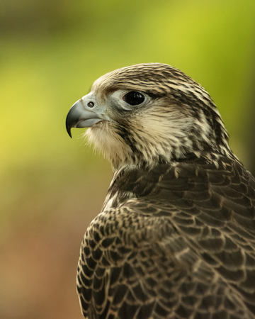 UK, Sherwood Forrest, Nottinghamshire  Birds of Prey Event - October 2018: Juvenile Gyr Peregrine in captivity. The name Gyrfalcon may be a hybrid of the Old High German word gir, meaning vulture, and the Latin falx, a farm tool with a curved blade, a reference to the bird's hooked talons. 版權商用圖片