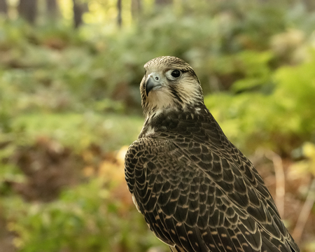 UK, Sherwood Forrest, Nottinghamshire  Birds of Prey Event - October 2018: Juvenile Gyr Peregrine in captivity. The name Gyrfalcon may be a hybrid of the Old High German word gir, meaning vulture, and the Latin falx, a farm tool with a curved blade, a reference to the bird's hooked talons. Stockfoto