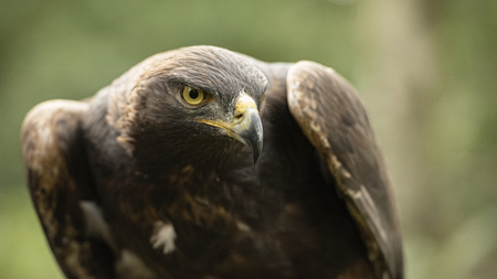 UK, Sherwood Forrest, Nottinghamshire  Birds of Prey Event -  October 2018: This Golden Eagle in part of a breeding & conservation program in the UK Stok Fotoğraf