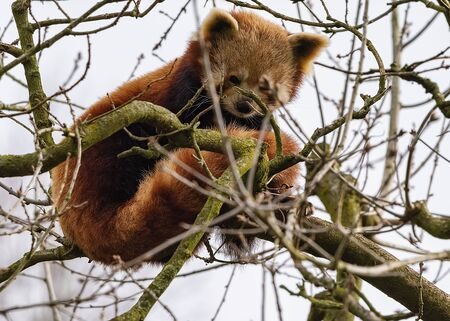 UK, Bristol - April 2019: Red Panda balanced up in the branches of a high tree
