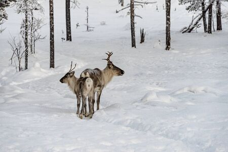 Finland, Inari- January 2019: Reindeer mother and calf  walking in the snow with the herd in the wild Finnish forests Stock Photo