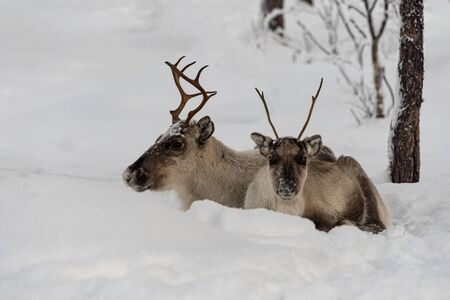 Finland, Inari- January 2019: Mother and child, Reindeer lying in the snow together in the wild Finnish forests