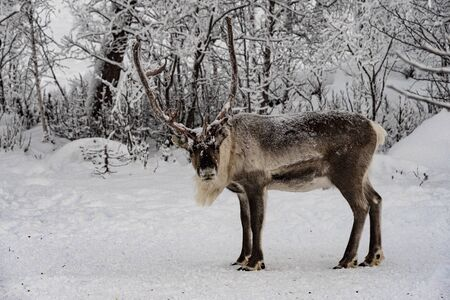 Finland, Inari - January 2019: Reindeer out walking in the Lapland forests in winter Stock Photo
