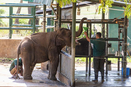 Sri Lanka, - Sept 2015: Rangers feeding milk to young orphaned elephants while they are checked by a vet at the Udewalawe, Elephant transit home