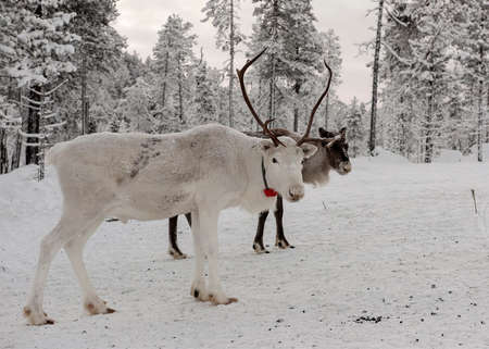 Finland, Inari- January 2019: Herd of Reindeer out in the wild Forrest