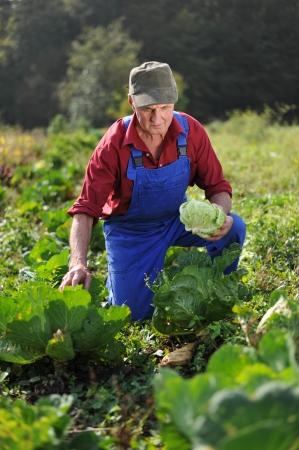 Organic farmer working at cabbage field
