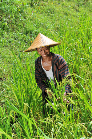 Organic farmer working and harvesting rice in the paddy field Imagens - 27108146