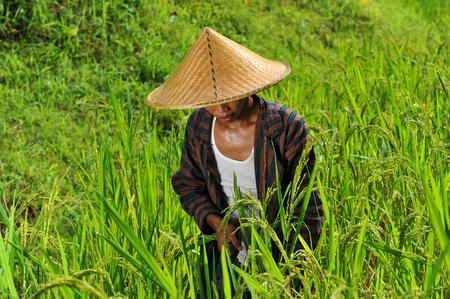 Bio-Bauern und Erntearbeits Reis im Reisfeld Standard-Bild - 27108192